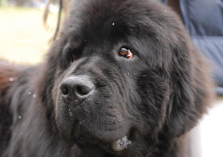 Newfoundlands dog breed