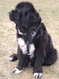 Newfoundland Leather Dog Harness