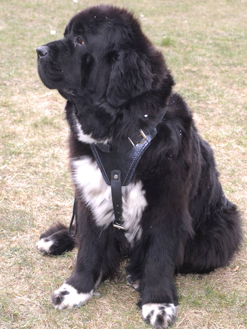 leather dog harness for Newfoundlan