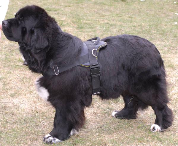 nylon dog harness for Newfoundland