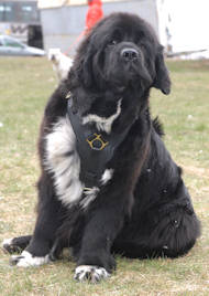 leather dog harness for newfoundland