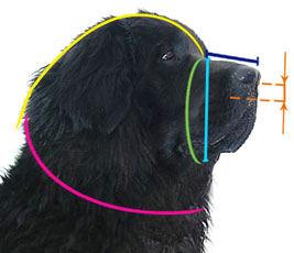How to measure your Newfoundland's muzzle